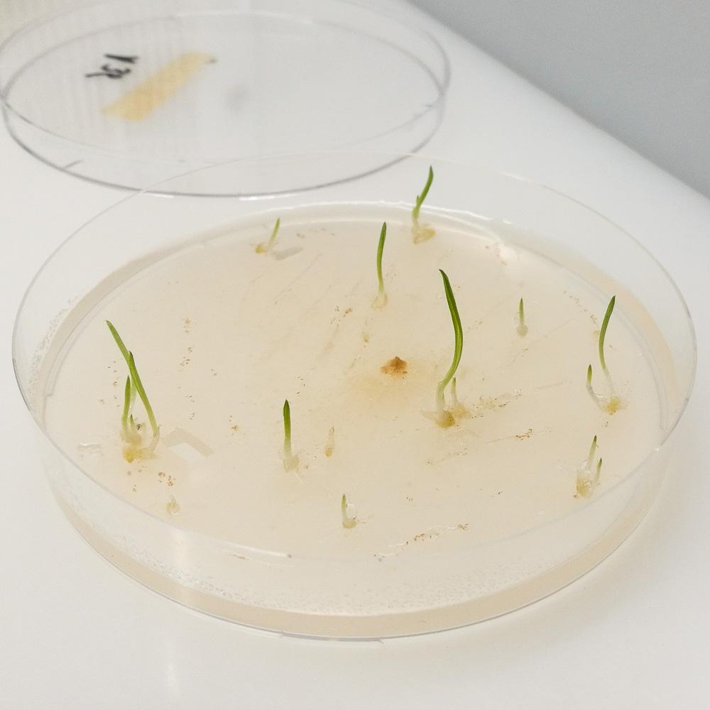 Symbiotisch gezaaide Blesharlekijn (Anacamtis champagneuxii) © Marcel van den Berg, Vereniging Orchideeën Vermeerdering