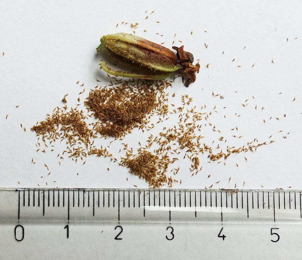 Stoffijn zaad van de rietorchis wordt gezaaid doord vereniging Orchideeën Vermeerdering